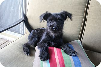 Schnauzer (Standard)/Terrier (Unknown Type, Medium) Mix Puppy for adoption in Wytheville, Virginia - Tobin James