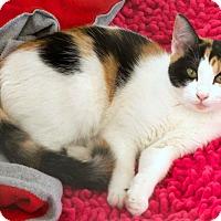 Adopt A Pet :: Bingo - St Louis, MO