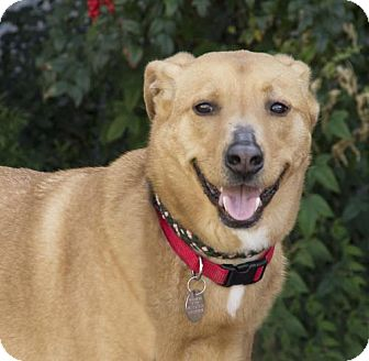 Golden Retriever/Vizsla Mix Dog for adoption in Houston, Texas - Bodhi