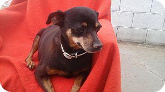 Miniature Pinscher Mix Dog for adoption in Phoenix, Arizona - Reyna