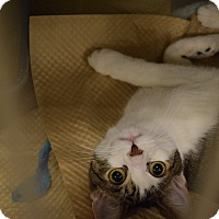 Domestic Shorthair Kitten for adoption in Washington, Pennsylvania - Luigi