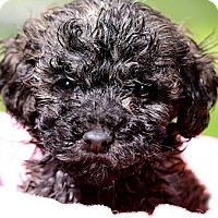 Adopt A Pet :: LINUS(TINY