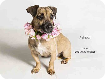 Pug/Dachshund Mix Dog for adoption in Poway, California - Dory