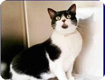 American Shorthair Cat for adoption in Kingwood, Texas - Venus