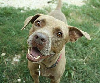 Labrador Retriever/Terrier (Unknown Type, Medium) Mix Dog for adoption in Hankamer, Texas - Sarge