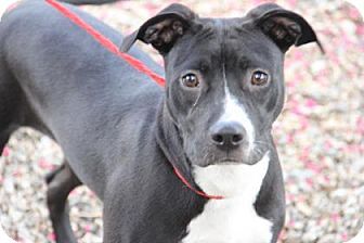 Pit Bull Terrier Mix Dog for adoption in Greensboro, North Carolina - Jodie