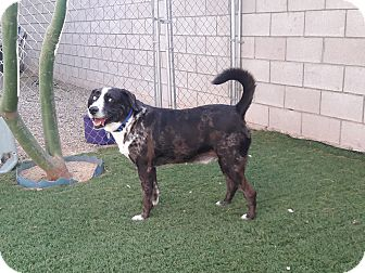 Cattle Dog/Labrador Retriever Mix Dog for adoption in Scottsdale, Arizona - Vincent