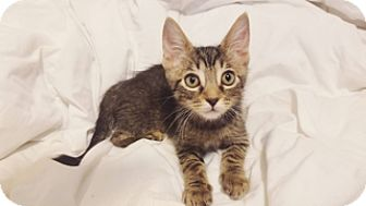 Abyssinian Kitten for adoption in Cerritos, California - Linus