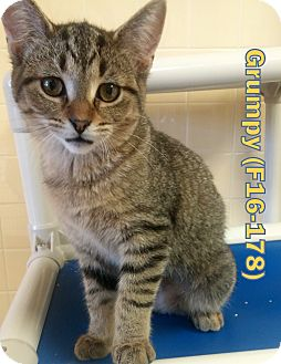 American Shorthair Kitten for adoption in Tiffin, Ohio - Grumpy