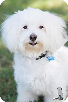 Maltese Mix Dog for adoption in Santa Fe, Texas - Asta+
