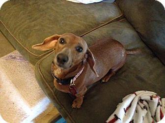 Dachshund Dog for adoption in San Antonio, Texas - Scout