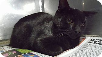 Domestic Shorthair Cat for adoption in THORNHILL, Ontario - Randy