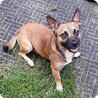 Belgian Malinois Mix Dog for adoption in Westmont, Illinois - MAXINE