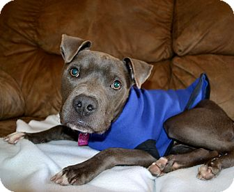 Boxer/Bulldog Mix Puppy for adoption in Parsippany, New Jersey - WILSON