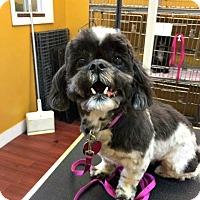 Adopt A Pet :: Sugar - Chesapeake, VA