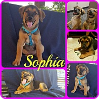 Adopt A Pet :: Sophia - Ft Worth, TX