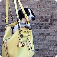 Adopt A Pet :: Dot - Manchester, NH