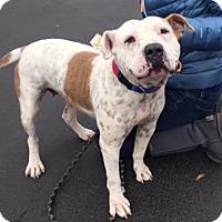 American Bulldog Mix Dog for adoption in Seattle, Washington - Piglet- Sweet Bulldog Mix