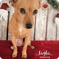 Dachshund/Chihuahua Mix Dog for adoption in San Antonio, Texas - Layla