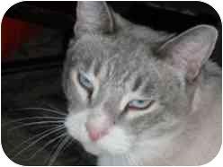Siamese Cat for adoption in Pasadena, California - Yo Yo