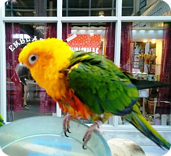 Conure for adoption in Shawnee Mission, Kansas - Oliver