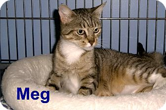 Domestic Shorthair Cat for adoption in Medway, Massachusetts - Meg