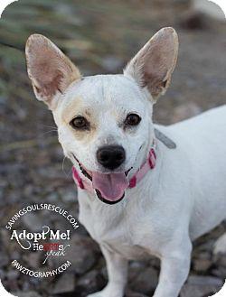 Corgi/Chihuahua Mix Dog for adoption in Scottsdale, Arizona - Lola