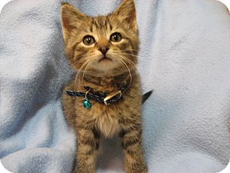 Domestic Shorthair Kitten for adoption in Eagan, Minnesota - Kringle