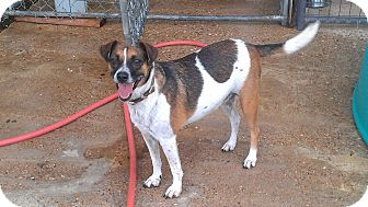 Jack Russell Terrier/Jack Russell Terrier Mix Dog for adoption in Eddy, Texas - Tina