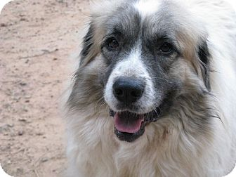 Great Pyrenees Dog for adoption in Greenville, South Carolina - Monet