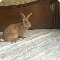 Adopt A Pet :: Lumpy - Portland, ME