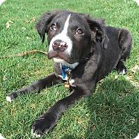 Adopt A Pet :: Alfie-Adopted! - Detroit, MI