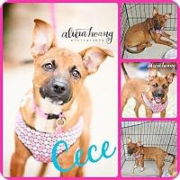 Adopt A Pet :: Cece - Ft Worth, TX
