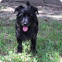 Scottie, Scottish Terrier/Schnauzer (Miniature) Mix Dog for adoption in Baton Rouge, Louisiana - Lincoln--ADOPTION PENDING