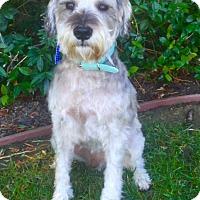 Schnauzer (Miniature) Mix Dog for adoption in pasadena, California - BARNEY