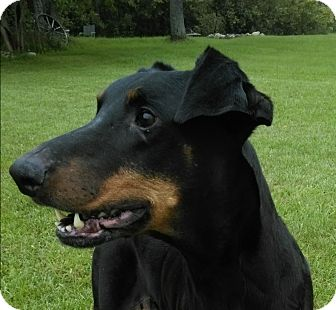 Doberman Pinscher Dog for adoption in Lafayette, Indiana - Puma