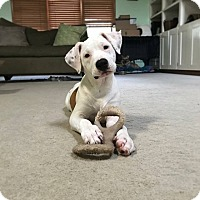 Pit Bull Terrier Mix Puppy for adoption in Indianapolis, Indiana - Pina Colada