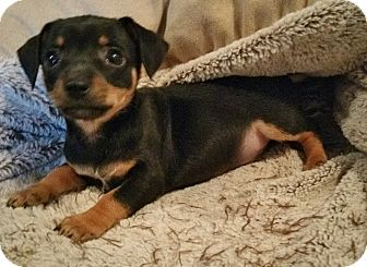 Chihuahua Mix Puppy for adoption in Bridgeton, Missouri - Dunkel-Fostered in KC