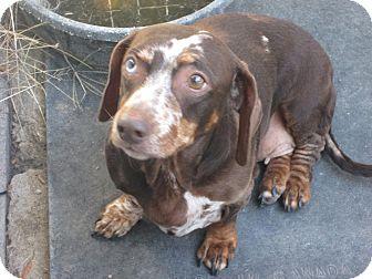 Dachshund Dog for adoption in Dodge City, Kansas - Cammi