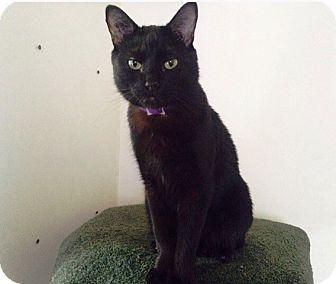 Domestic Shorthair Cat for adoption in Vancouver, British Columbia - Radagast