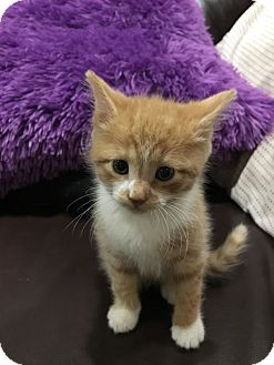 American Shorthair Kitten for adoption in Toms River, New Jersey - Buster