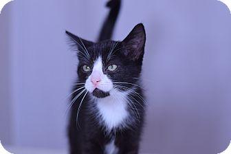 Domestic Shorthair Kitten for adoption in Virginia Beach, Virginia - Sebastian