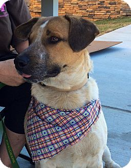 Blue Heeler/Labrador Retriever Mix Dog for adoption in Haggerstown, Maryland - BOLT