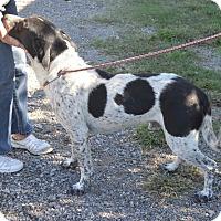 Adopt A Pet :: TRAPPER - Quitman, TX
