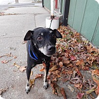 Adopt A Pet :: Snoop - Lafayette, IN