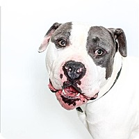 Adopt A Pet :: Dozer - San Luis Obispo, CA