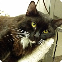Domestic Mediumhair Cat for adoption in Sarasota, Florida - Gypsy