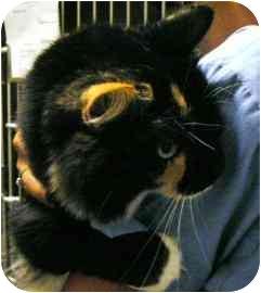 Domestic Mediumhair Cat for adoption in Walker, Michigan - Livonia