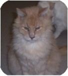 Domestic Mediumhair Cat for adoption in El Cajon, California - King