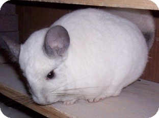 Chinchilla for adoption in Avondale, Louisiana - Monkey